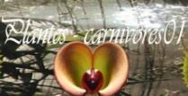 -  plantes carnivores01