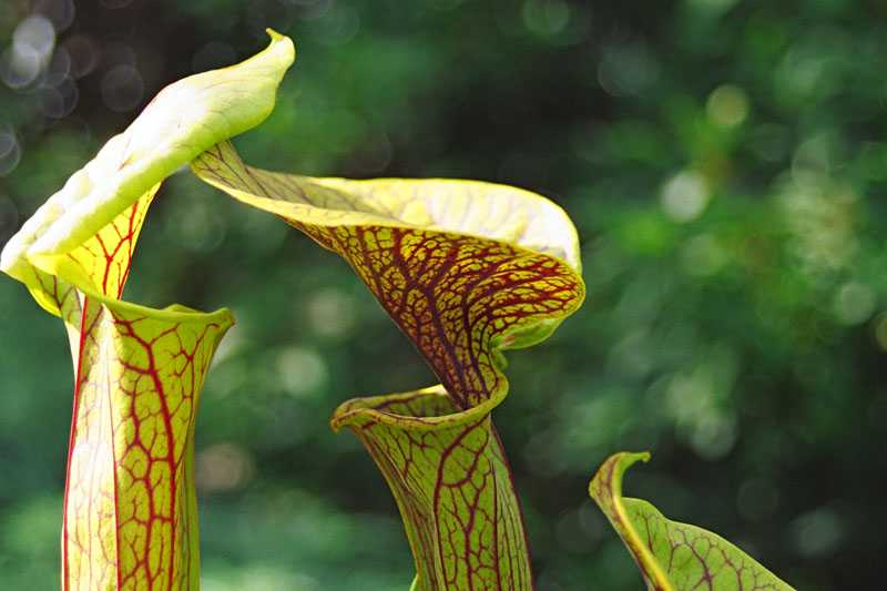 Sarracenia flava var. ornata 'Super Ornata' in flower Sarra_7
