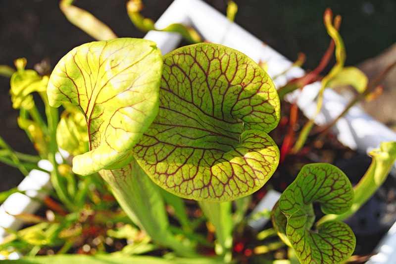 Sarracenia flava var. ornata 'Super Ornata' in flower Sarra_8